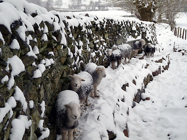 Herdwicks sheltering from the snow